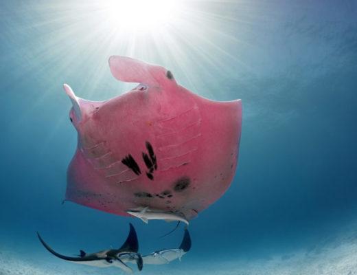 Дивовижні підводні фото єдиного в світі рожевого ската.