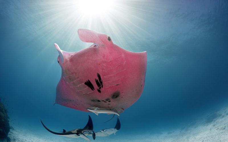 Удивительные подводные фото единственного в мире розового ската.